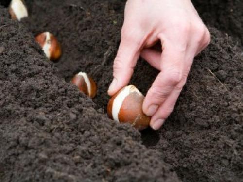 Как дома в горшке вырастить тюльпаны. Как посадить тюльпаны в домашних условиях?