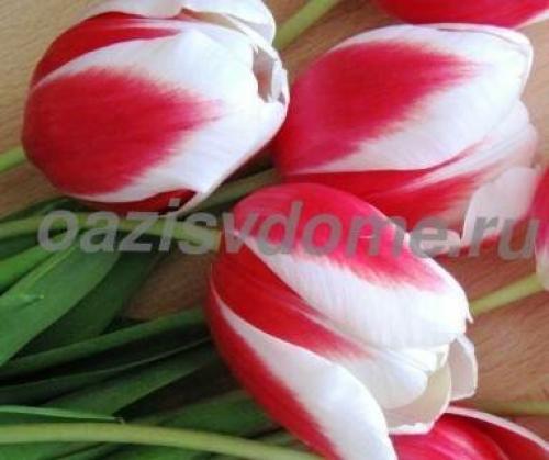 Тюльпаны в горшке в домашних условиях. Как выращивать тюльпаны в домашних условиях?