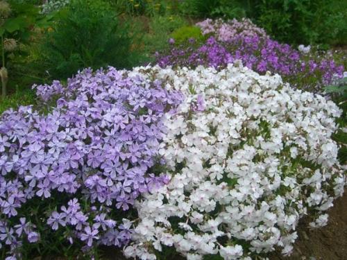 Сад непрерывного цветения многолетников схема посадки. Почвопокровные претенденты на место в цветнике